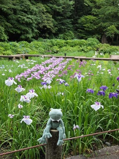卯辰山の菖蒲園