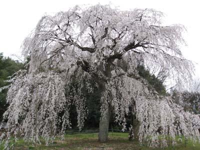 生山の桜1