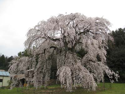 生山の桜2