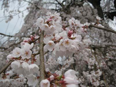 生山の桜3