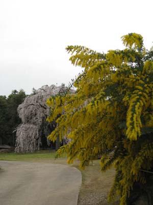 生山の桜5