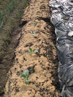 ジャガイモを植える2013 4