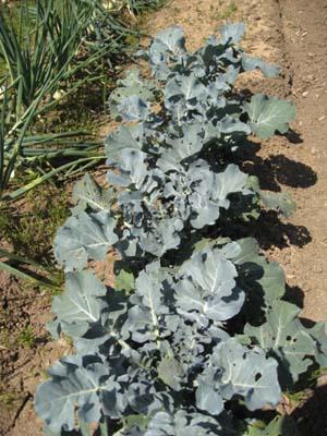 ブロッコリー初収穫2