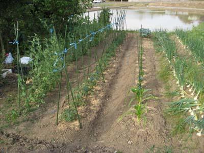 ブロッコリー初収穫4