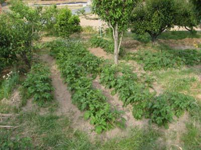 ブロッコリー初収穫5