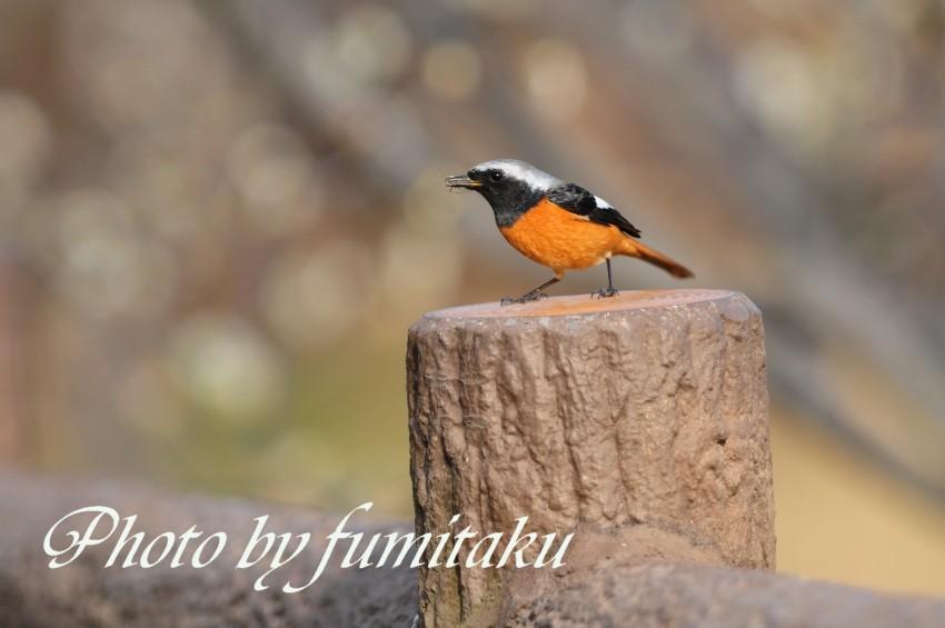 梅&野鳥 (7)