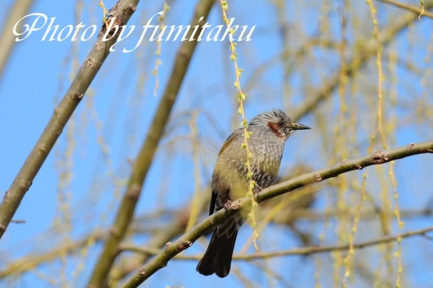 梅&野鳥 (11)