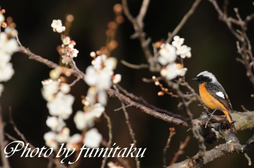 梅&野鳥 (10)