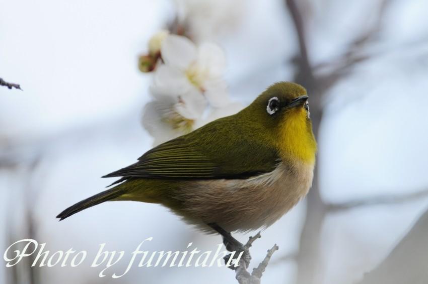 梅&野鳥 (20)