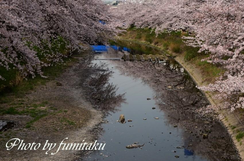 五条川カワセミ (8)