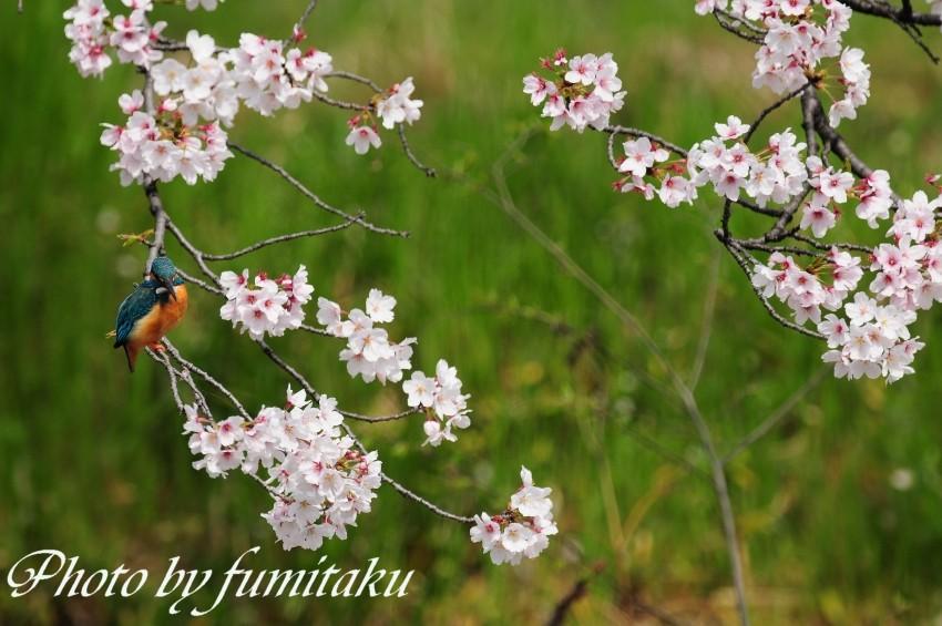 五条川カワセミ (1)