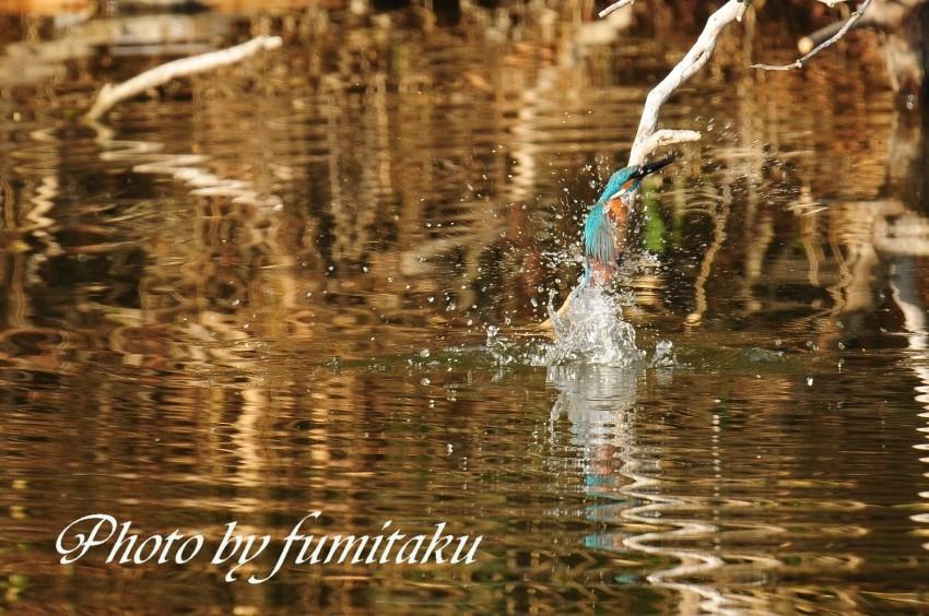 旭公園カワセミ4.10 (3)