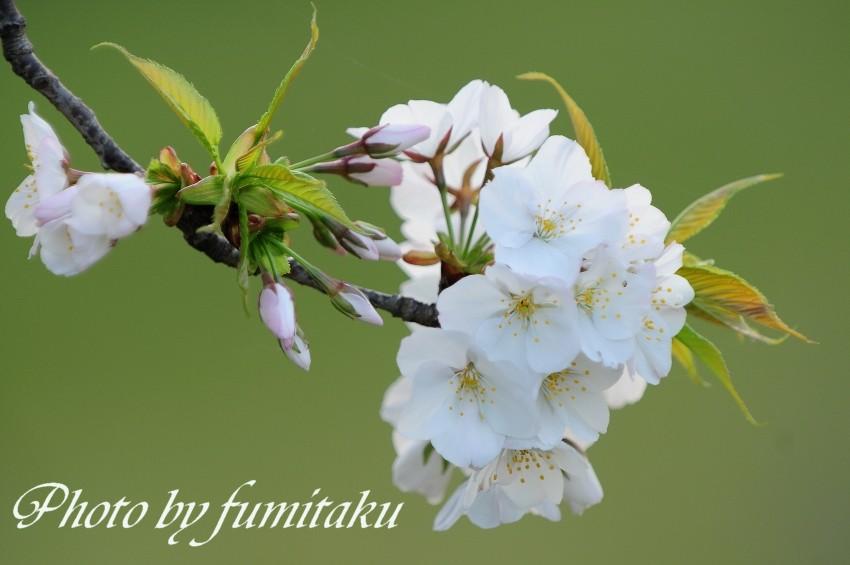 旭公園カワセミ4.10 (1)