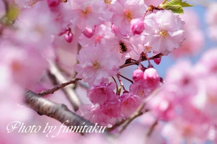 旭公園カワセミ4.10 (11)
