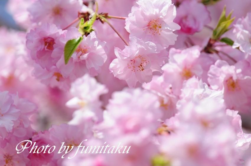 旭公園カワセミ4.10 (10)