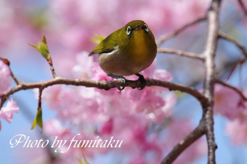 旭公園カワセミ4.10 (8)