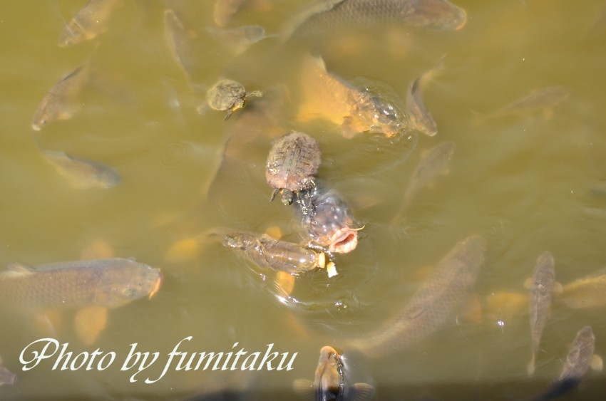 旭公園カワセミ4.10 (17)