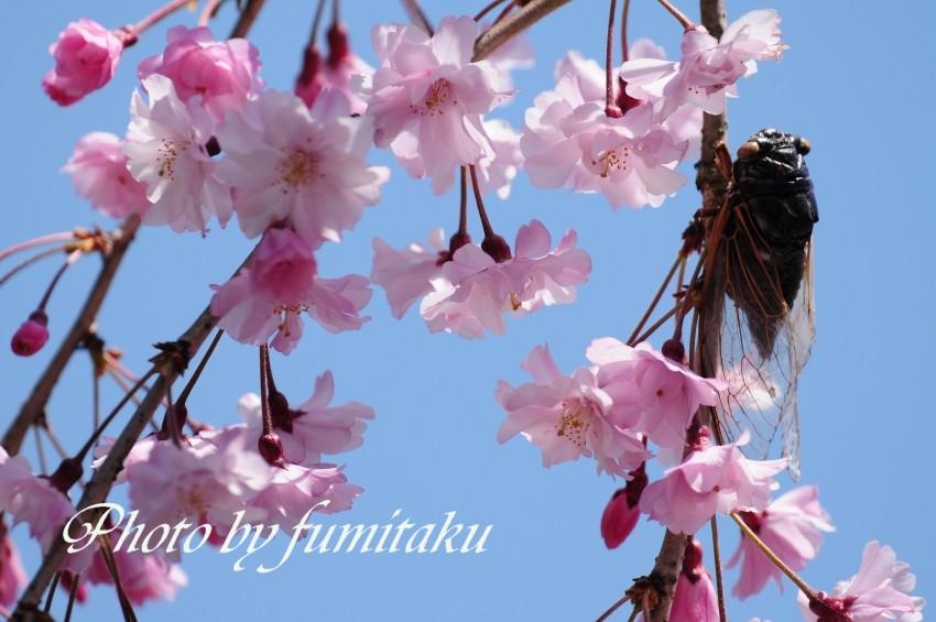 旭公園カワセミ4.10 (2)