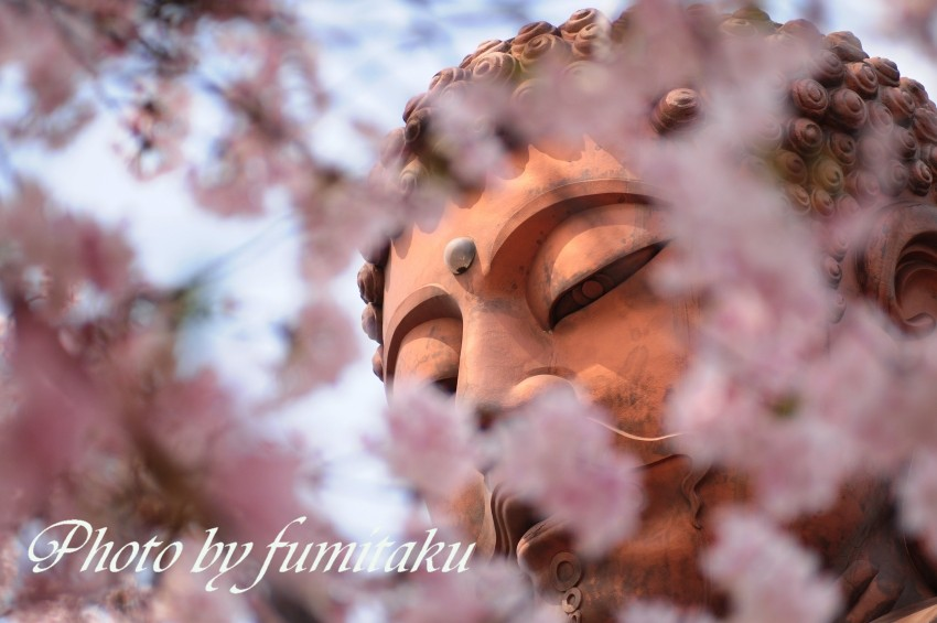聚楽園桜大仏様 (5)