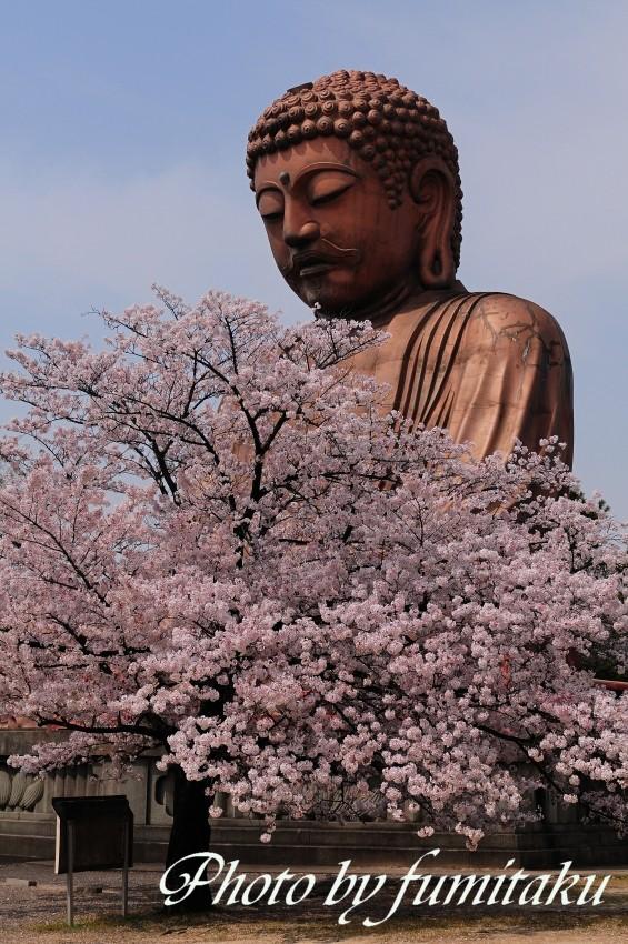 聚楽園桜大仏様 (2)