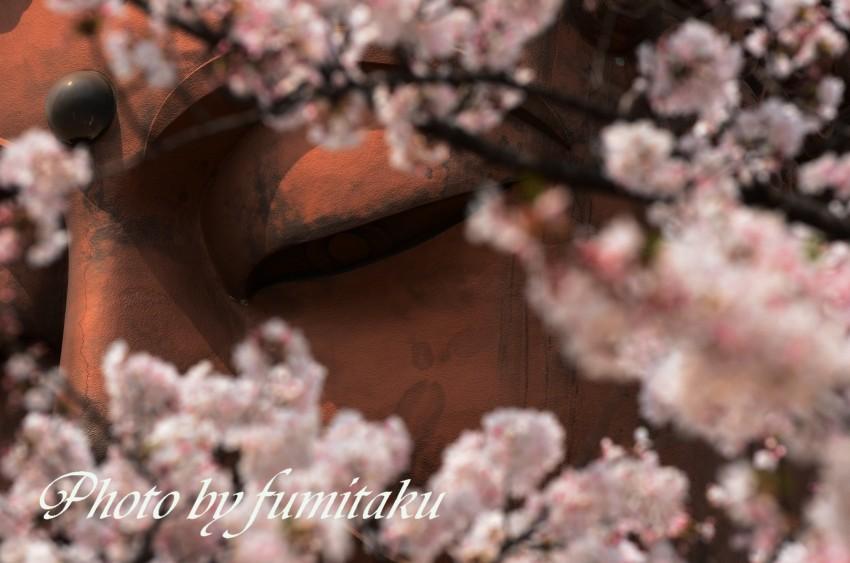 聚楽園桜大仏様 (10)