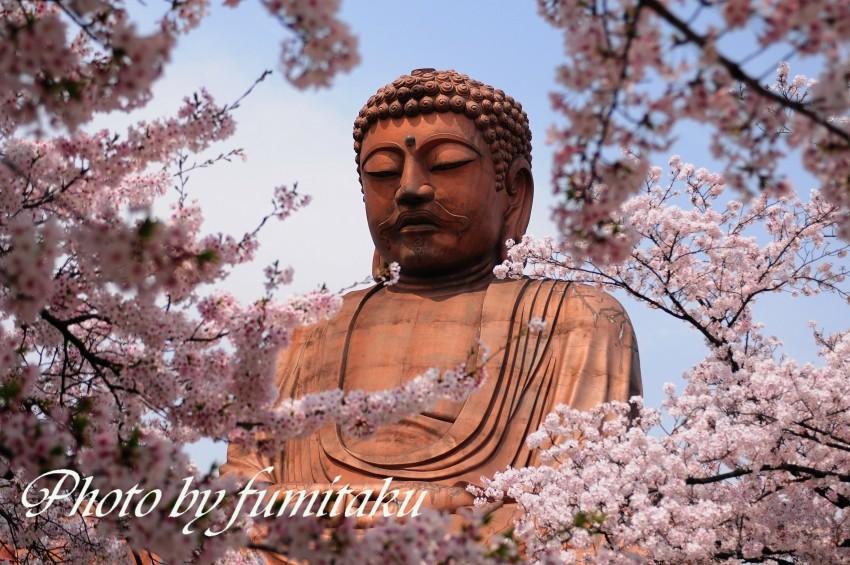 聚楽園桜大仏様 (1)