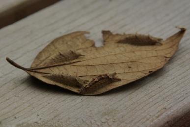 オオムラサキとゴマダラチョウの幼虫