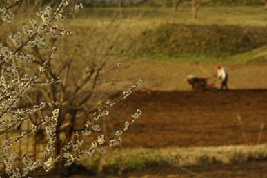 梅の花と畑