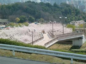 4月3日桜のじゅうたん