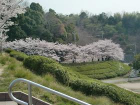4月5日桜並木とも