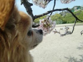 4月4日桜とラテ