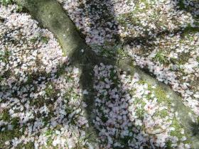 4月9日桜に