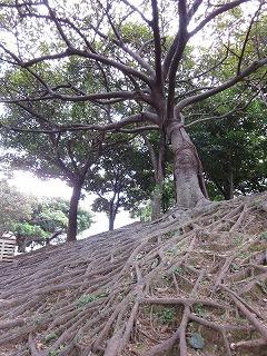 こないだ沖縄で出会った木。根っこが力強い!こんな木みたいになりたいなぁ。