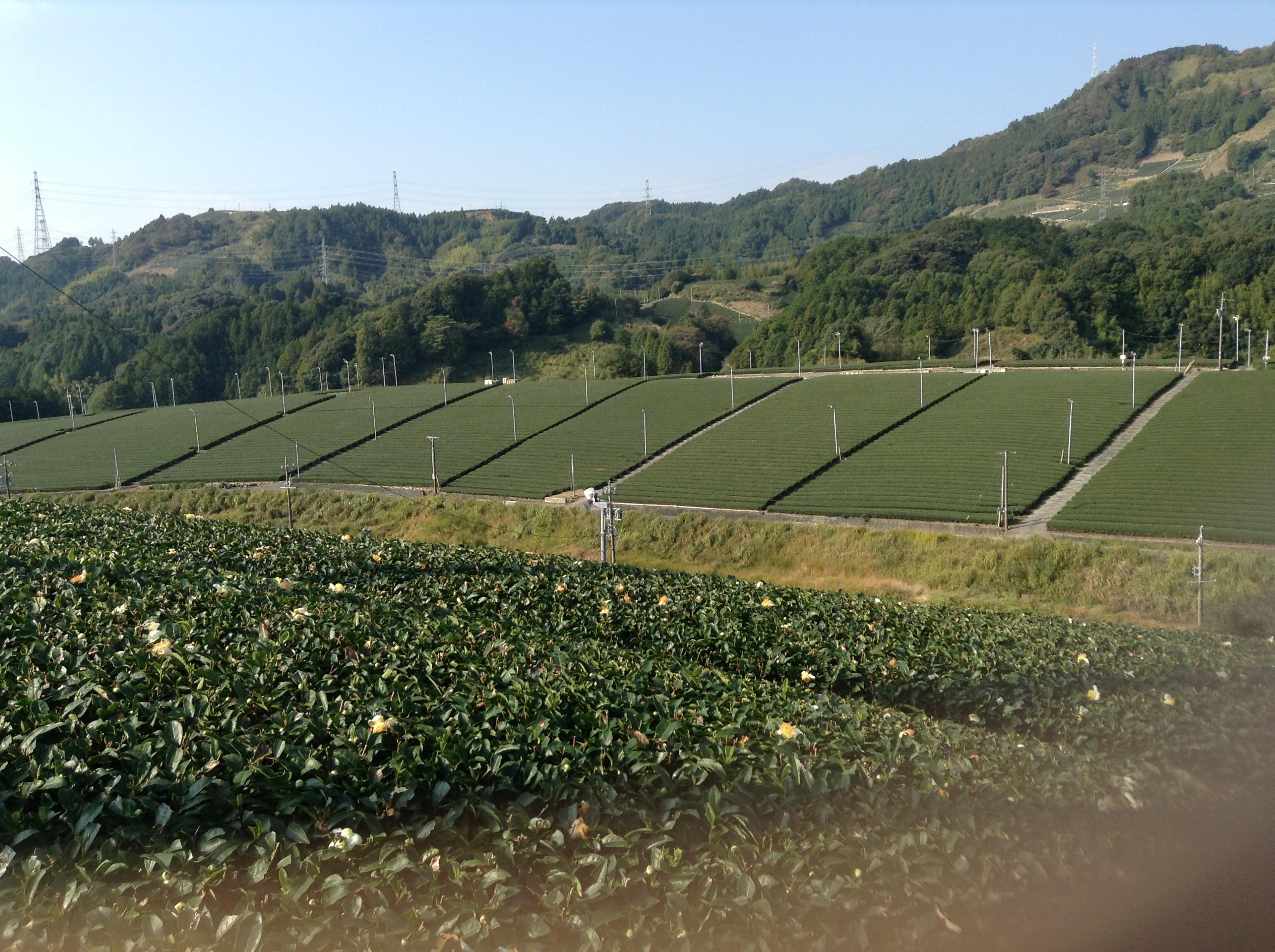 東山の平面茶畑