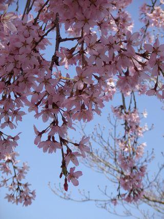 2011年 桜