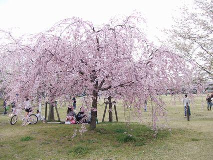 2012 桜ケ丘カルチャーパークの桜