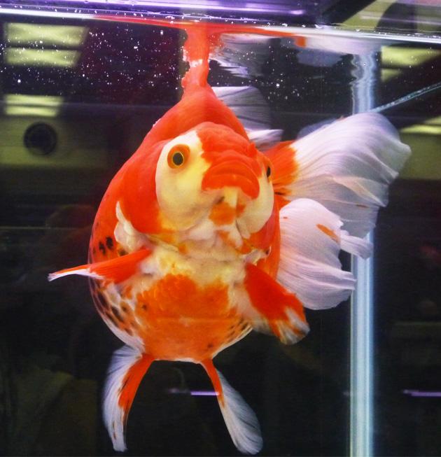 観賞魚フェア10