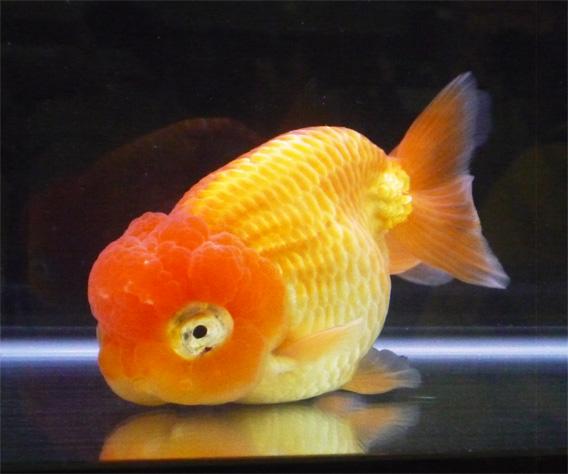 観賞魚フェア9