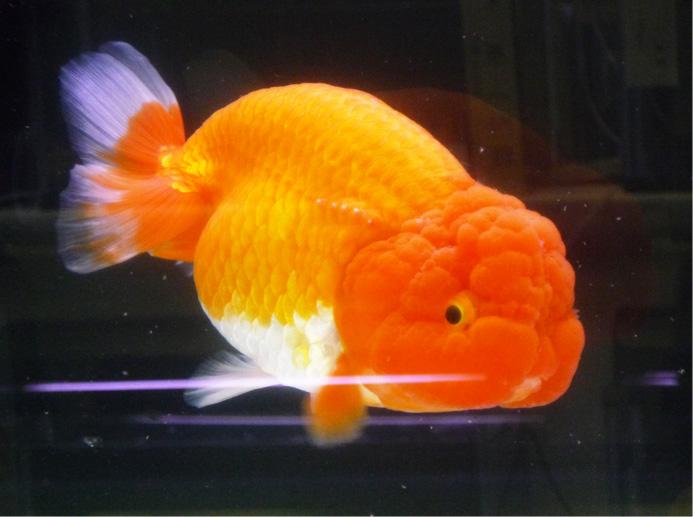 観賞魚フェア11