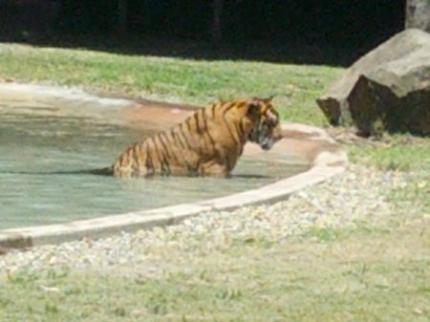 タイガーショー1