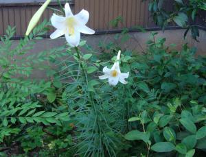 DSC0083620108,22yuri_convert_20100822163642百合の花