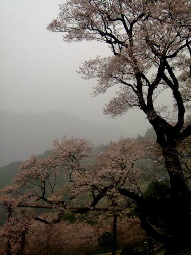 ひょうたん桜20日未明