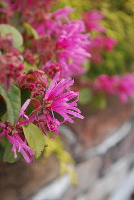 春の花  マンサク