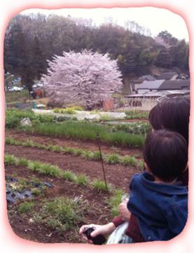 2012.4.17.畑と桜