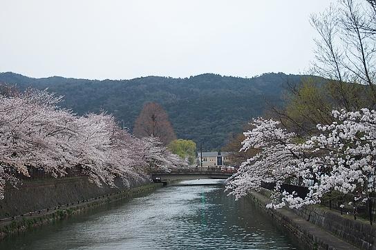 平安神宮前の桜5