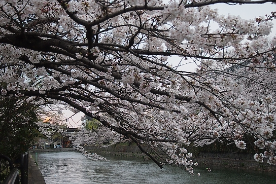 平安神宮前の桜4
