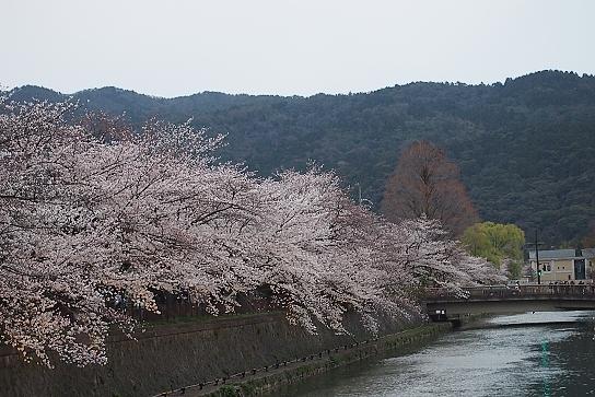 平安神宮前の桜6