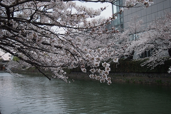 平安神宮前の桜3