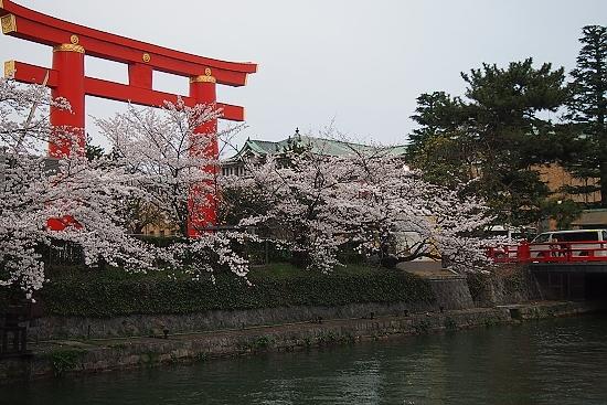 平安神宮前の桜2