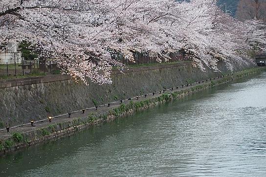 平安神宮前の桜7